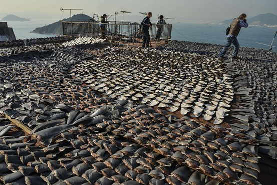 Agence France-Presse/Getty Images Shark fins drying in the sun cover the roof of a factory building in Hong Kong on January 2, 2013.