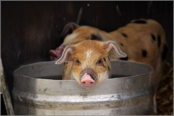 800px-Pig_in_a_bucket