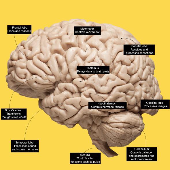 brains_0