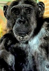 potd-chimp_2633133b