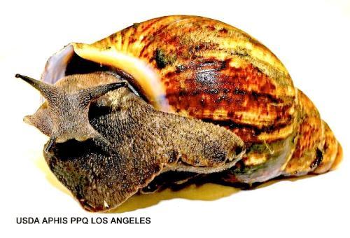 African-snails