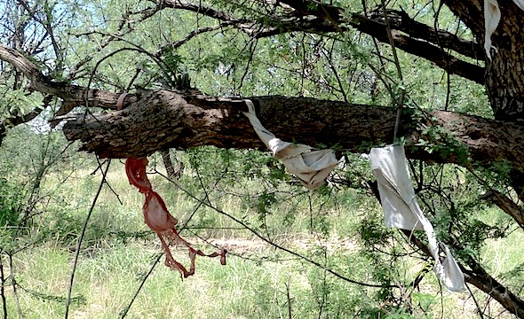A rape tree is what Mexican illegals create with the panties and bras of the women they have raped along the trail to America. After they have had their way with the women and young girls, they force them to hang their panties or bras, on the trees as a trophy or a sign of their conquest.