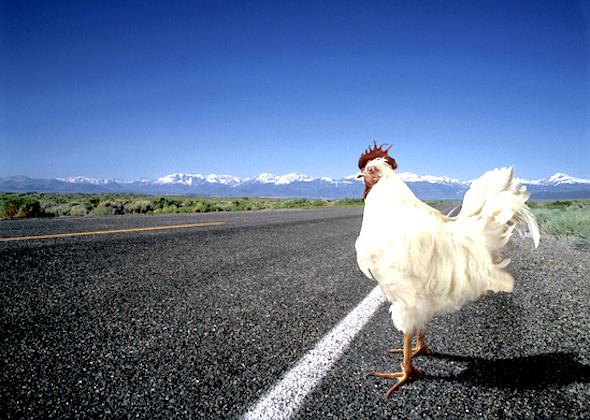 chicken-crossing-road
