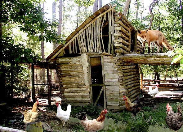 Fox-guarding-the-hen-house-512bf2d4bec97_hires