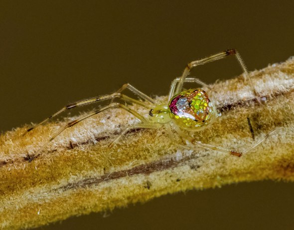 mirror-spider-thwaitesia-argentiopunctata-9