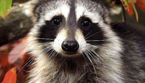 ARKive image GES068267 - Northern raccoon