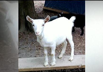 pet-goat