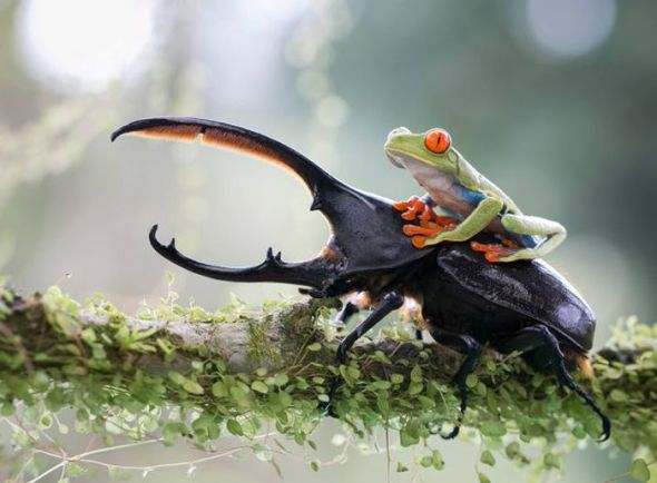 Frog rides a beetle