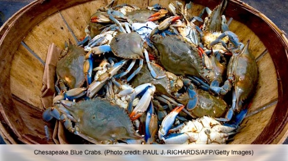 blue-crabs