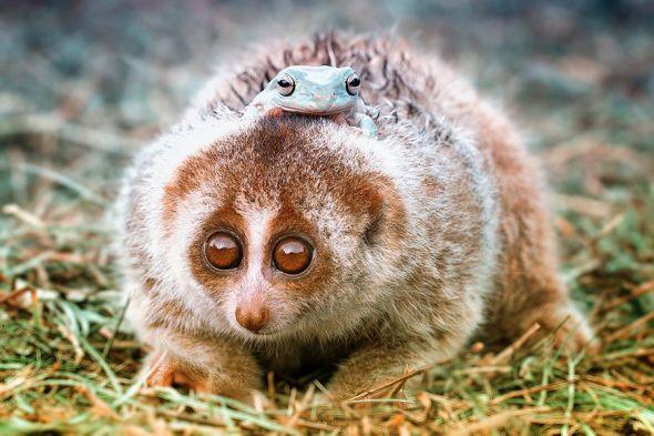 lemur-frog