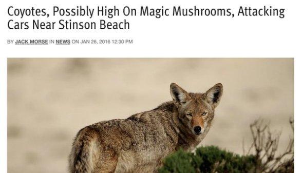 high-mushrooms-coyote